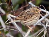 Savannah Sparrow; Bartow Co., GA