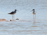 Black-necked Stilt with Greater Yellowlegs; Bartow Co., GA