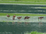 Long-billed Dowitchers: Bartow Co., GA
