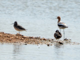 male American Avocet with G. Yellowlegs & B.W. Teal: Bartow Co., GA