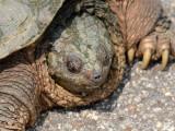 Snapping Turtle: Bartow Co., GA