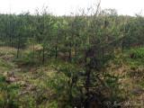prime Kirtland's Warbler habitat: Crawford Co., MI