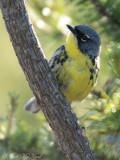male Kirtland's Warbler: Crawford Co., MI