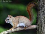 Red Squirrel: Crawford Co., MI