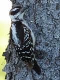 juvenile Hairy Woodpecker: Elyria, OH