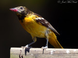 female Baltimore Oriole carrying grape jelly to young: Elyria, OH
