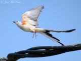Bartow County Scissor-tailed Flycatchers