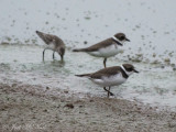 Semipalmated Plovers and Semipalmated Sandpiper: Bartow Co., GA