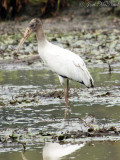 juvenile Wood Stork; Bartow Co., GA