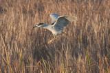Black-crowned Night-heron.jpg