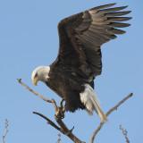 Bald Eagle landing.jpg