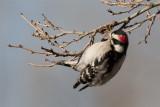 Downy Woodpecker.jpg