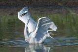 Great Egret landing.jpg