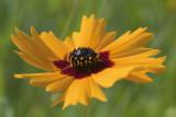 Plains coreopsis.jpg