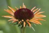 Pale echinacea.jpg