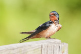 Barn swallow.jpg
