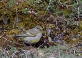 Citril Finch - Citroenkanarie
