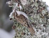 Central European Treecreeper - Kortsnavelboomkruiper