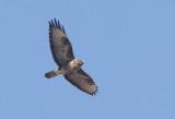 Rapaci diurni  (falconiformes)