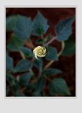 *Moonflower Spiral*
