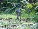 Crab-eating Fox at Cerulean Warbler Reserve / RNA Reinita Cielo Azul