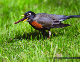 American Robin and Earthworm