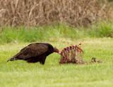 turkey_vultures
