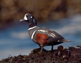 Harlequin Duck, Male