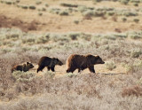Grizzly Sow and One  Year Old Cubs