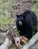 Black Bear and Elk Calf Kill