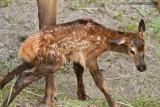 Newborn Elk Calf