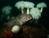 Ling Cod, Plumose Anemones, and Sea Star