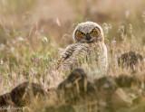 Great Horned Owl Fledgeling