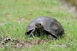 (Manouria emys) Asian Giant Tortoise