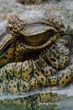 (Crocodylus porosus)  Estuarine Crocodile