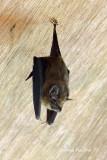 (Emballonura alecto) Greater Sheath-tailed Bat