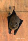 (Emballonura monticola) Lesser Sheath-tailed Bat