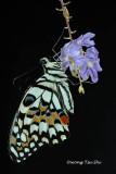 (Papilio demoleus) Lime Butterfly ♂