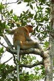(Nasalis larvatus)Probosis Monkey