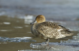 Stjärtand - Northern pintail (Anas acuta)