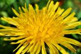 Dandelion - up close
