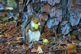 Squirrel with Pecans