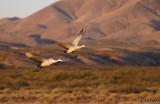 Sandhill Crane duo in flight