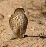Cooper's Hawk in the Sonoran Desert