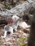 Long-tailed Weasel with Snowshoe Hare 6