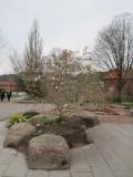 Blommande Magnolia