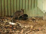 A tiny Wallaby