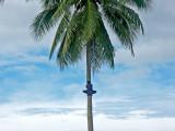 Local lad climbing the palm tree 11 April 2004