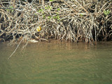 Look closely a lurking crocodile