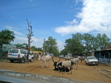 Cows settled on the main road in Juba